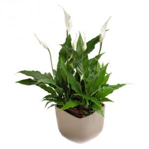 En fredslilja med vita blommor, planterad i kruka.