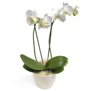 Ståtliga, vita orkidéer, i vit kruka.