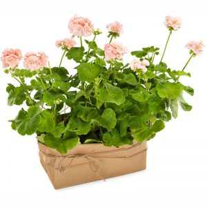 Två pelargoner med rosa blommor. Ur Euroflorists sortiment.
