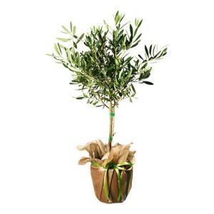 Olivträd, finns hos Interflora.