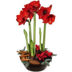 Julgrupp med röda amaryllis, röda minijulstjärnor, kanelstänger och kottar. Skicka julgruppen med ett blomsterbud från Interflora - beställ snabbt och enkelt online.