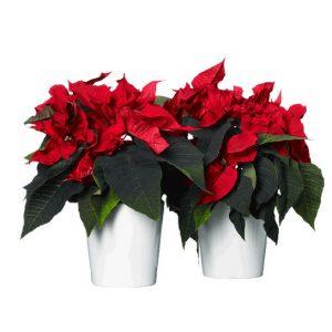 Röda julstjärnor i vita krukor. Välj att skicka en eller två st julstjärnor - beställ dem online hos Interflora.