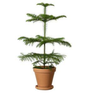 Grön rumsgran i terrakottakruka. Skicka granen med ett blombud från Interflora och önska God Jul!