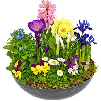 Rund skål med vårplantering. Blandade vårblommor i glada färger; bl a primula, hyacint, iris, penséer, tusensköna, primula. Blommorna ingår i Euroflorists sortiment.