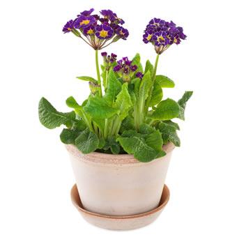 Terrakottafärgad kruka, med plantering av lila primulor. Ett Euroflorist-arrangemang.