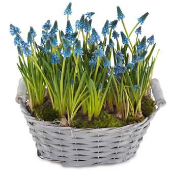 Rund korg med pärlhyacint-plantering. Blomstergruppen ingår i Euroflorists sortiment.