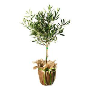 Olivträd - skicka det med ett blombud från Interflora