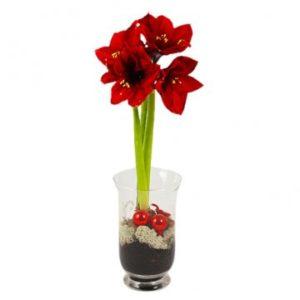 Röd amaryllis i glasvas. Julpynt och mossa i basen. Skicka amaryllisen med ett blomsterbud från Florister i Sverige!