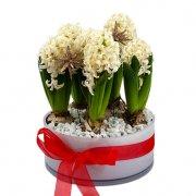 Vit skål med hyacinter i grupp. Rött band runt skålen. En juldekoration från Florister i Sverige.