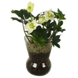 Vit julros i glasvas - mossa i basen. Skicka julrosen med ett blomsterbud från Florister i Sverige.