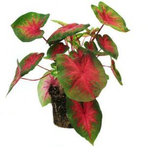 Caladium Red, en vacker krukväxt med grön/röda blad. Skicka växten med bud från Florister i Sverige!