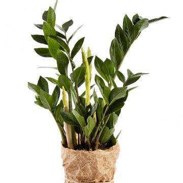 Grön garderobsblomma. Skicka växten i present till någon du gillar! Du hittar den hos Florister i Sverige.
