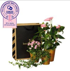 Presentpåse med tre växter; en anthurium, en våreld och en murgröna. Skicka växterna med ett blomsterbud från Interflora!