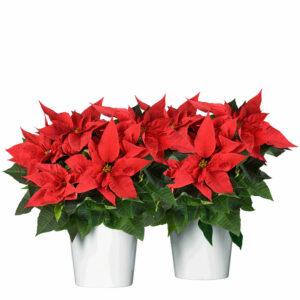 Röd julstjärna i vit kruka. Välj mellan en växt och två växter. Skicka julblommor med bud via Interflora!väx
