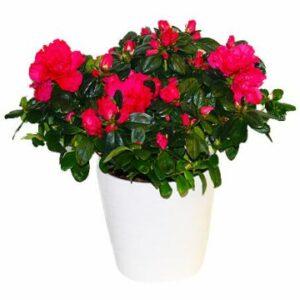 Röd azalea i vit kruka. Skicka den med bud från Florister i Sverige.