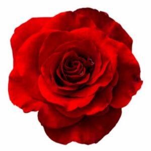 Röd ros - välj mellan 3, 4, 5 eller 7 rosor hos Florister i Sverige. Skicka röda, orange, vita, gula eller rosa rosor med bud!
