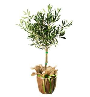 Olivträd - skicka med ett blomsterbud från Interflora!
