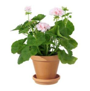Rosa pelargon i kruka. Skicka den med bud via Interflora!